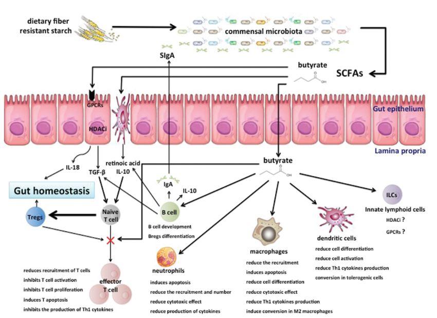 Das Mikrobiom kommuniziert mit unseren immunsystem mit der hilfe von kurzkettigen fettsäuren [aus Ref. 12]