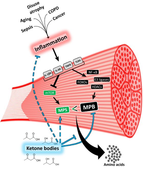 Muscle Protective function of Ketone bodies [5]
