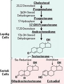 cholesterol to testosterone.jpg