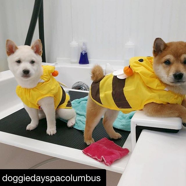 Rain, rain, go away...we can wear raincoats any day... ☔️ #Repost @doggiedayspacolumbus ・・・ When it rains on your spa day a bumblebee raincoat is a must have!🐝☔️