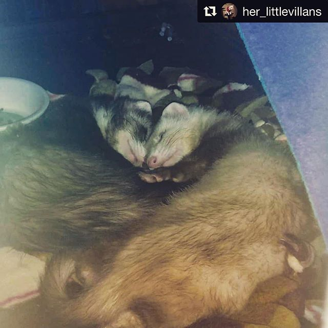 The two cuties wanted to wish you a happy National Ferret Day!! 💕  #Repost @her_littlevillans ・・・ Cuddle time charging up for play time!