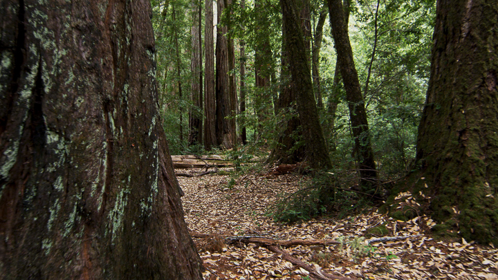 Redwoods6.jpg