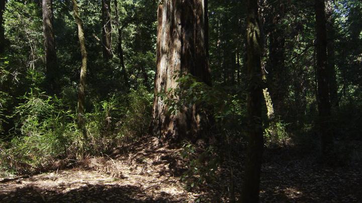 Redwoods8.jpg