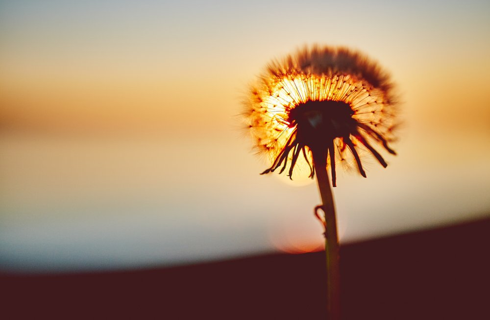 dandelion-flower-sunset-36985.jpg