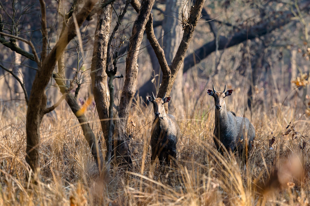 Nilgai at dudhwa national park