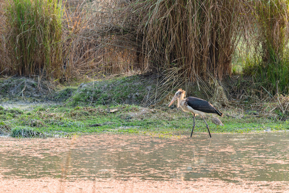 Marabou Storks at Dudhwa National Park