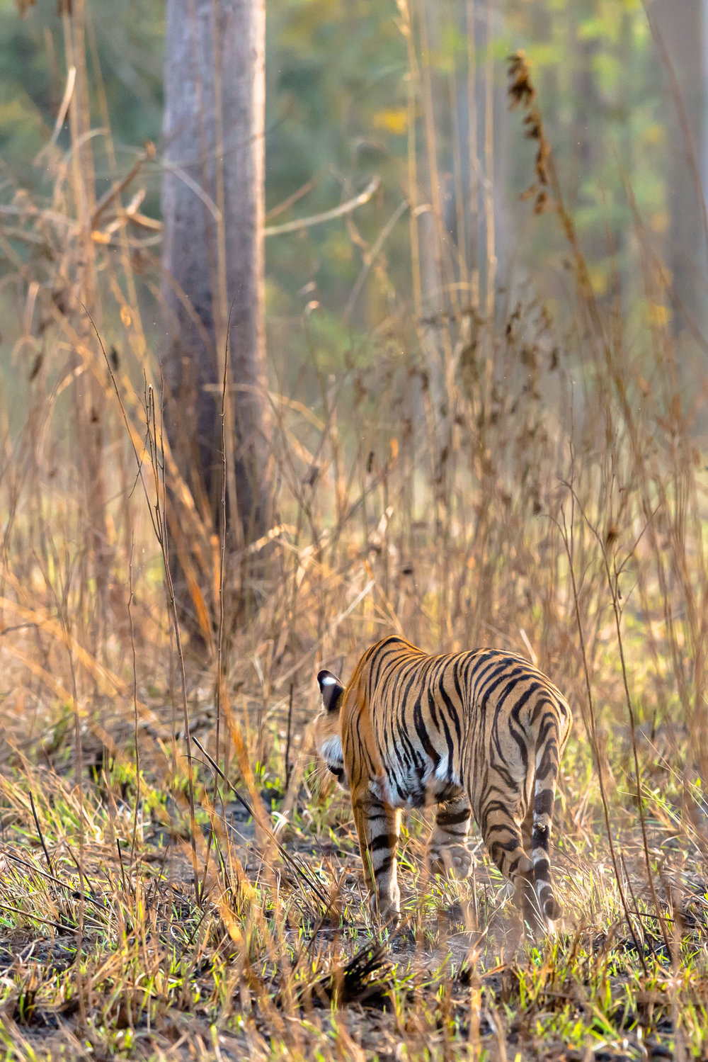 Female Tiger at Dudhwa national Park