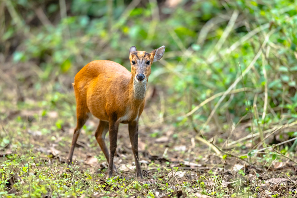 Barking deer or Muntjacs at Jim Corbett National Park