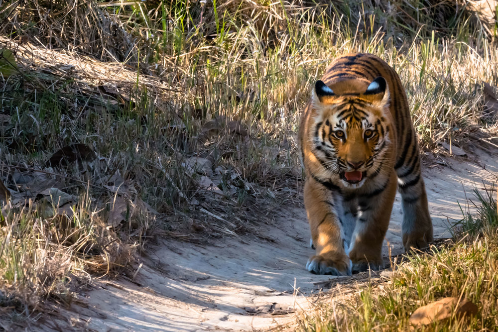 Tiger Cub at Jim Corbett National Park