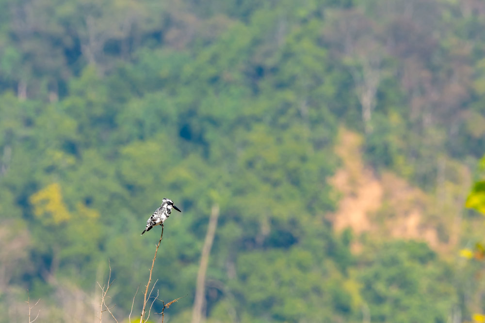 Pied or Black and White Kingfisher at Jim Corbett National Park