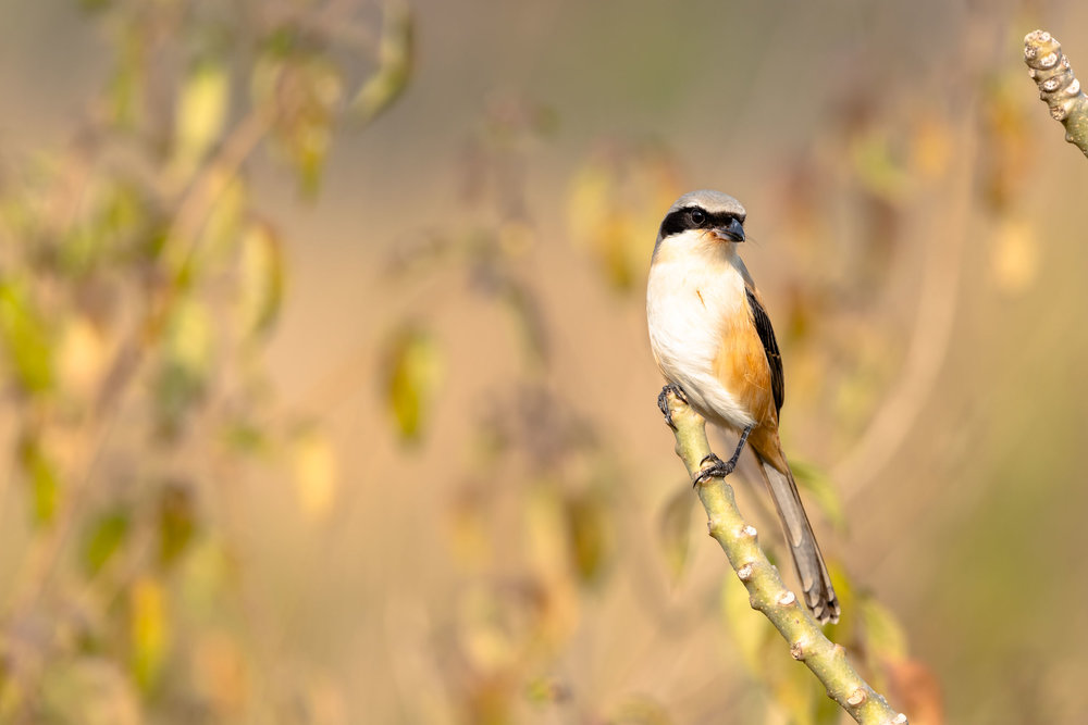 White throated Bushchat or Hodgson's Bushchat at Jim Corbett
