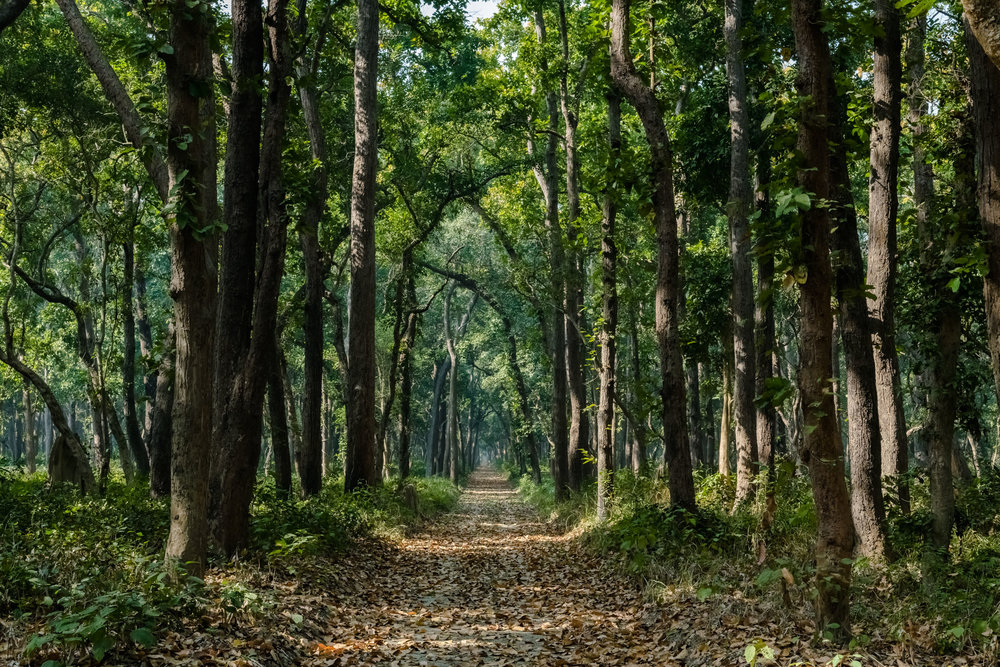 The road not Taken with Leaves at Dudhwa National Park