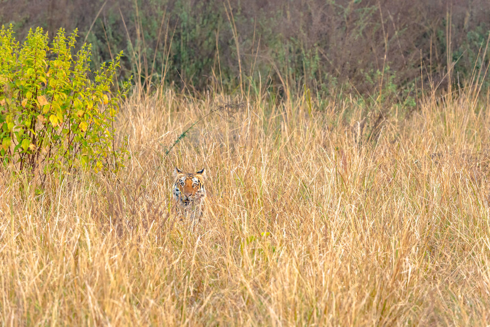Hide and seek of Tiger in Grass Lands