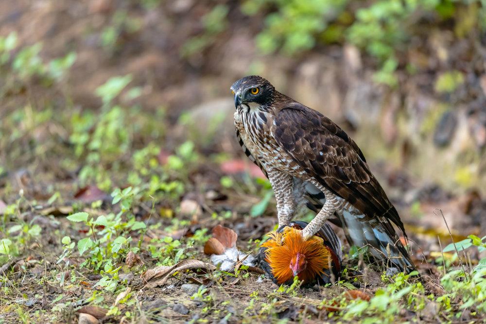 Eagle on live wild fowl