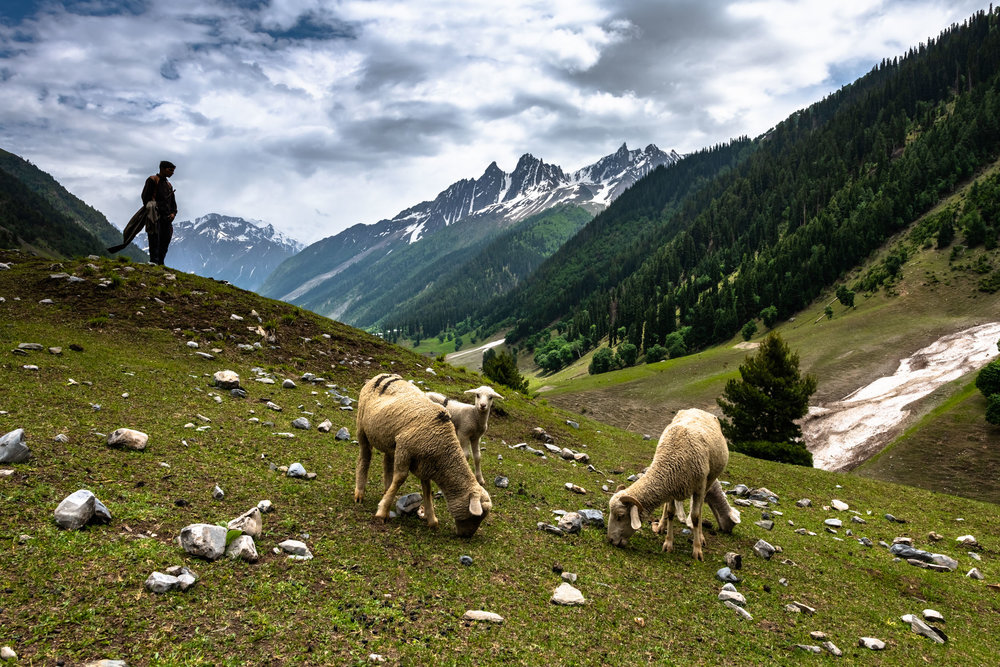 Cattle grazing at Sonmarg