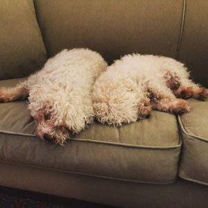 Meet Nick and Nora, the family's adorable but dirty bichons.