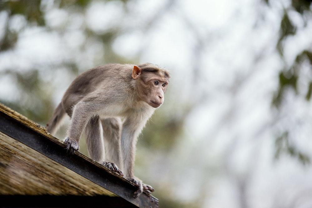 monkey_periyar_rooftop.jpg