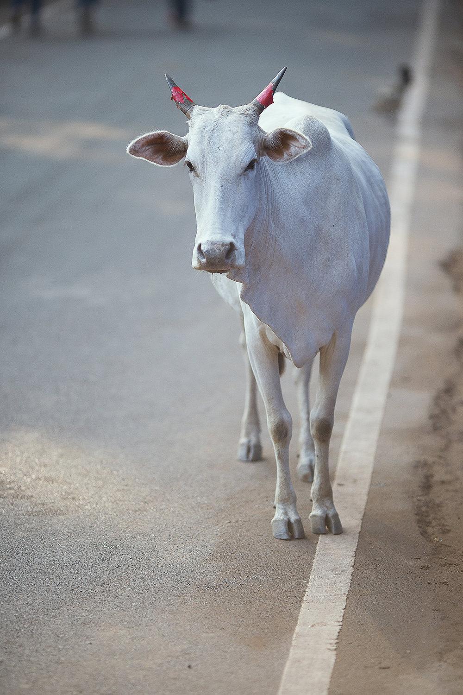 cow_portrait_palolem.jpg