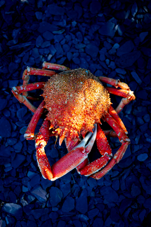 spider_crab_002.jpg