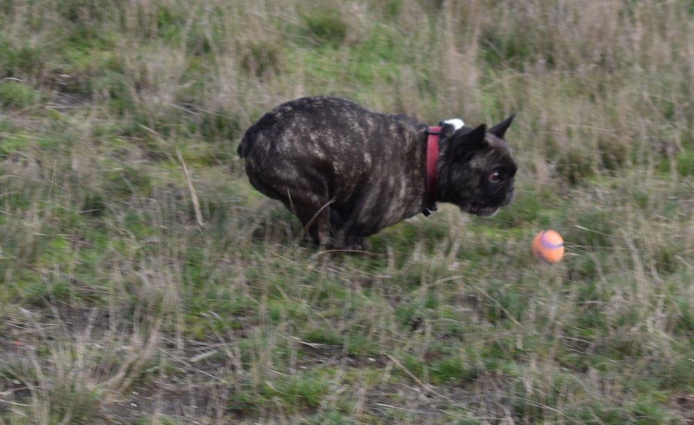 Frenchy - bull dog - Esquimalt, BC