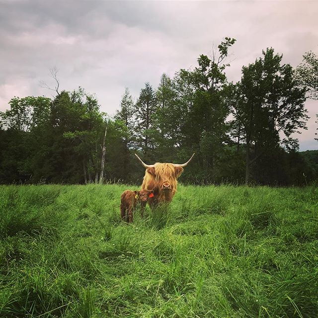 - Let Kevin and Kathy introduce you to their Scottish highland cattle at Burn Ayr Farm.