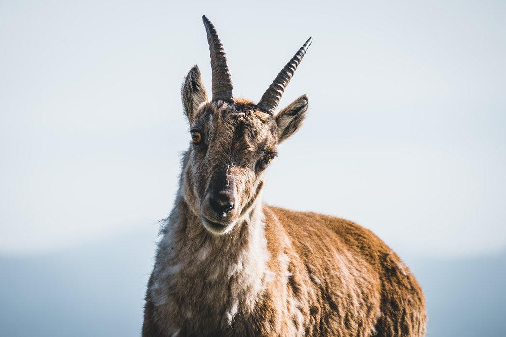 Alpensteinbock [capra ibex] | Appenzell, Switzerland