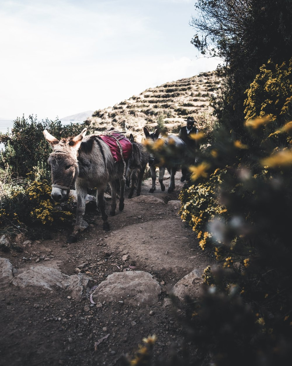 Packed donkeys at the Isla del Sol | Titicaca lake