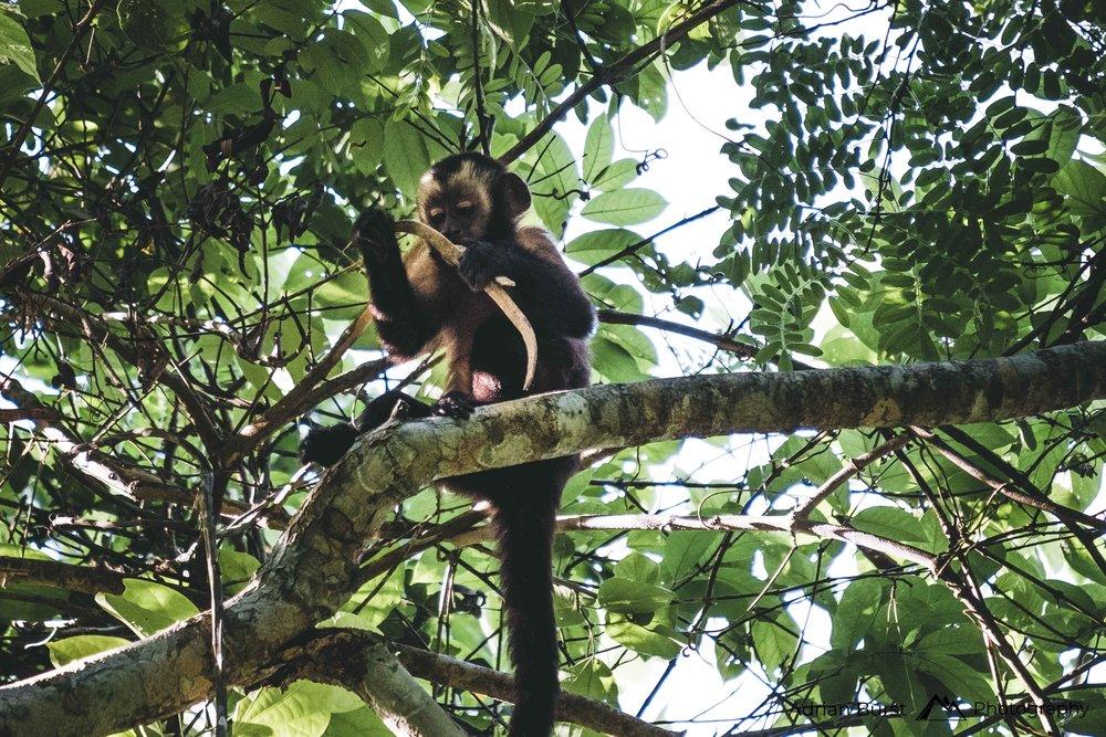 153   Peru capuchin, Tambopata national reserve