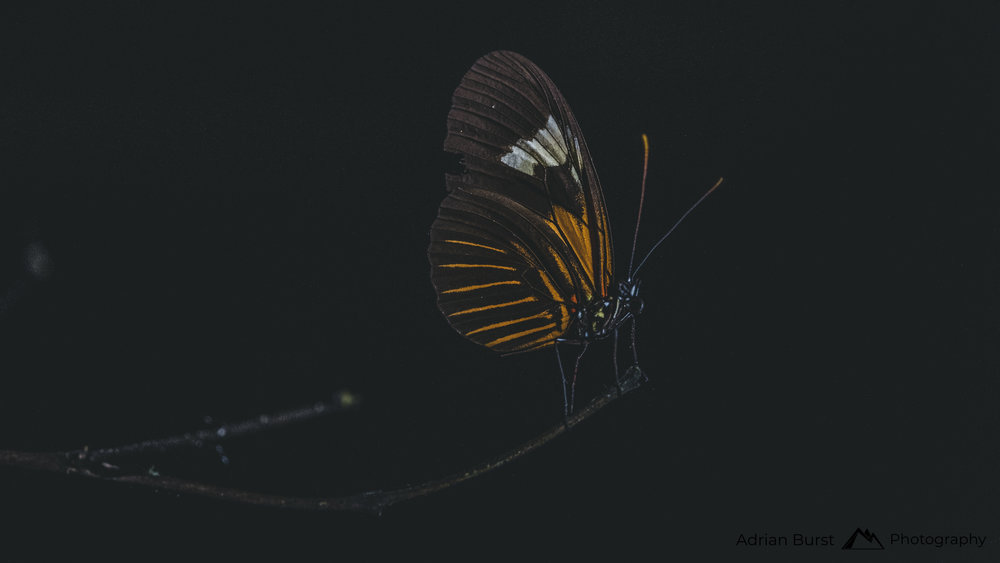 150 | Butterfly, Tambopata national reserve