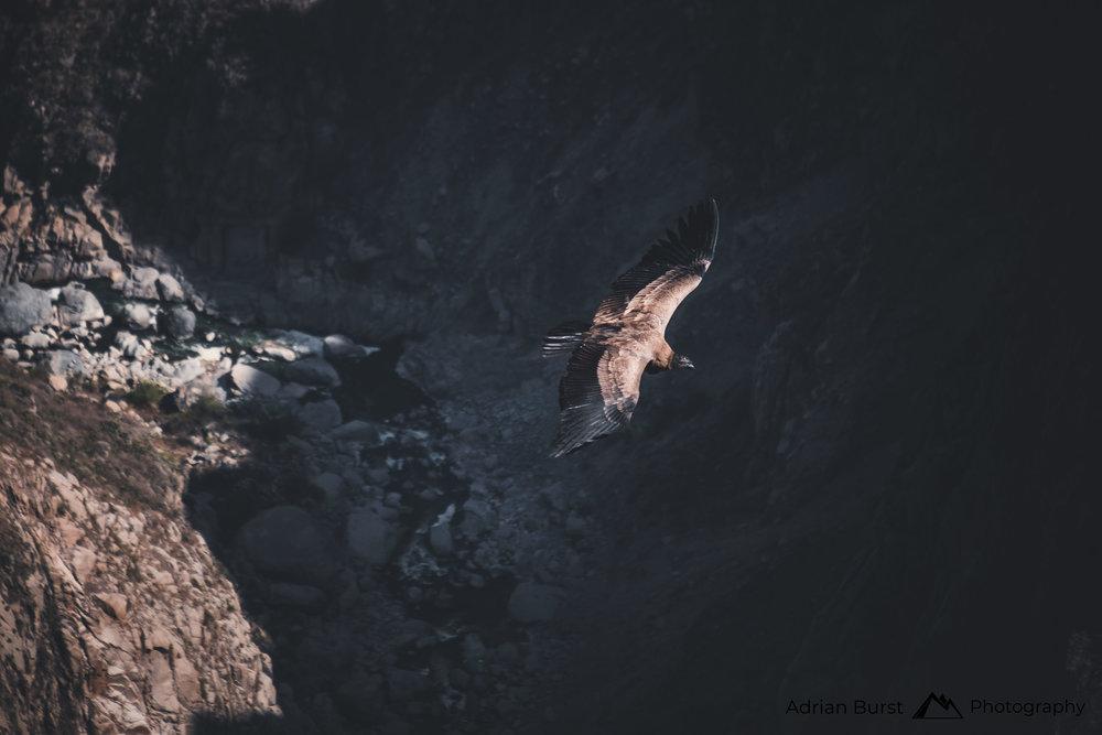 120   Andean Condor, Cola Canyon, Chivay