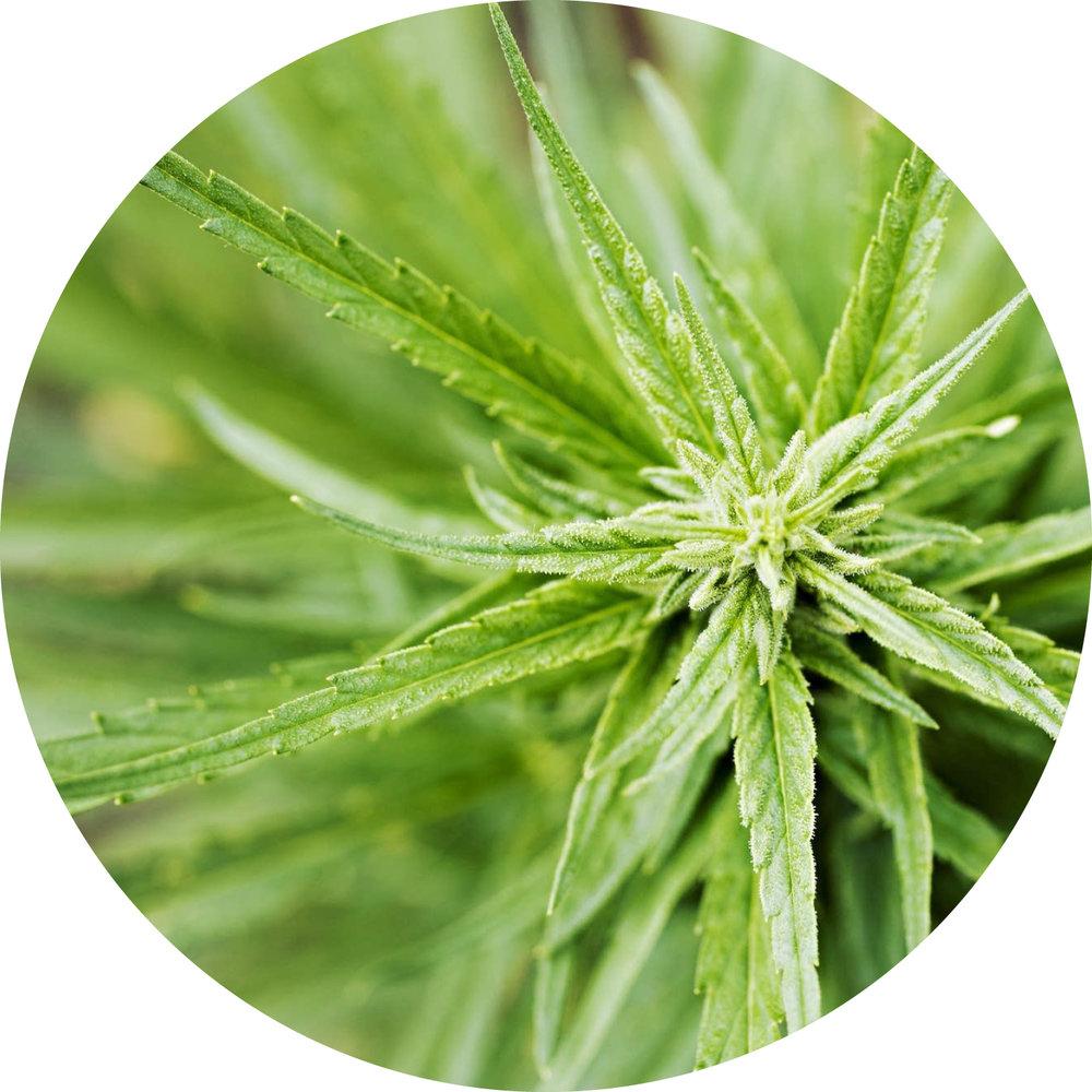 deew-beauty-wellness-creme-cannabis.jpg