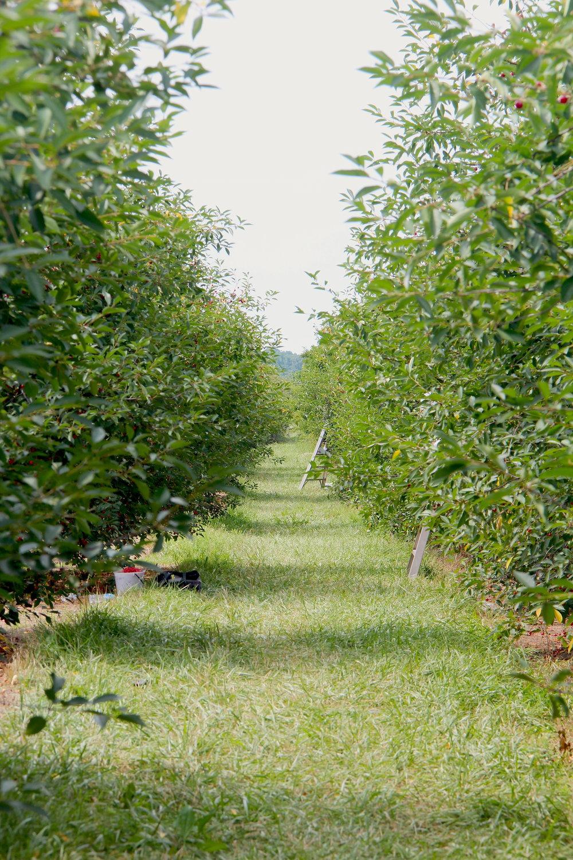 cherry-picking21.jpg