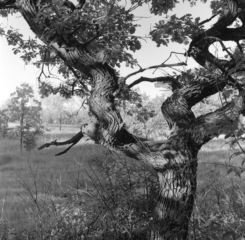 Helen Allison Savanna (MN) Dancing Bur Oak, September 2010