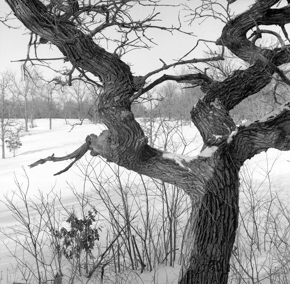 Helen Allison Savanna (MN) Dancing Bur Oak, February 2011