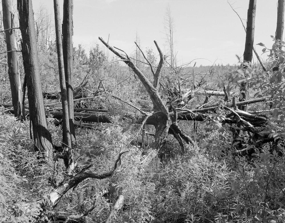 Island River (MN) Pagami Creek Fire Area, Site #1 June 2014