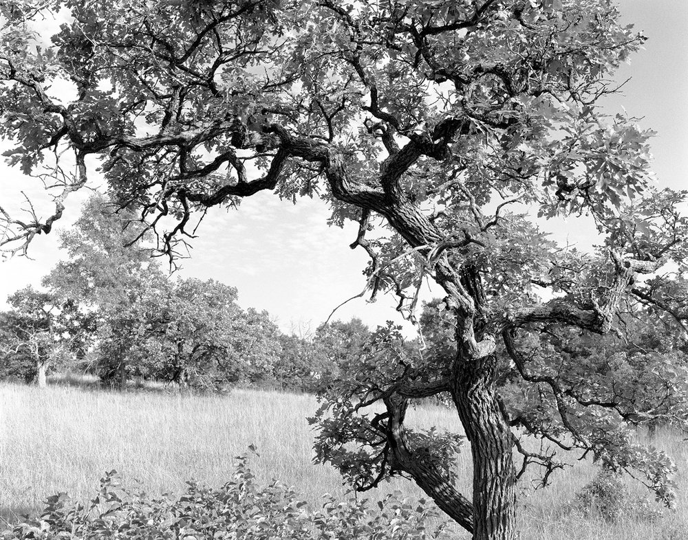 Helen Allison Savanna (MN) Singular Bur Oak July 2012