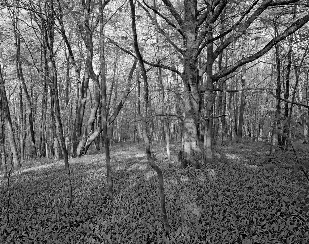 Nerstrand Big Woods Grove with Trout Lilies, #3 May 2018