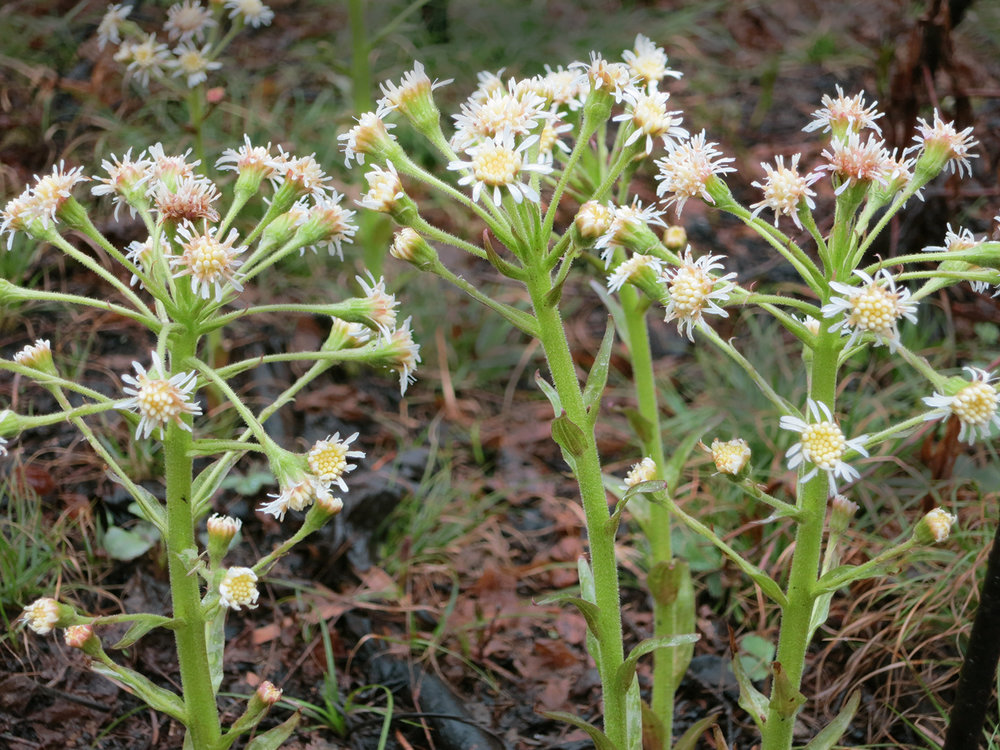 Sweet Coltsfoot blooming in Poor Conifer Swamp