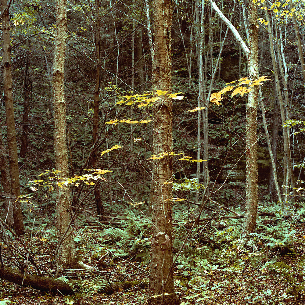 Pine Hollow (WI) October 1983. Golden Birch Grove