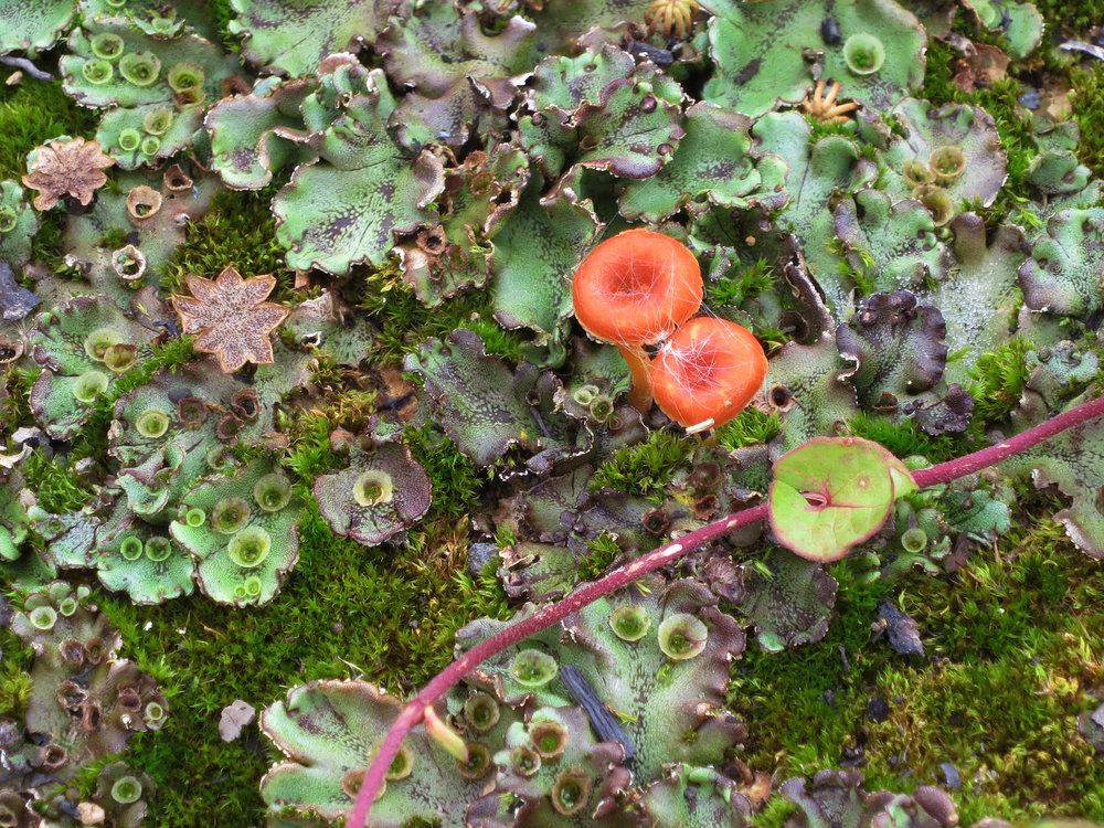 Bryophytes and Fallopia vine
