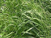Annual Ryegrass -