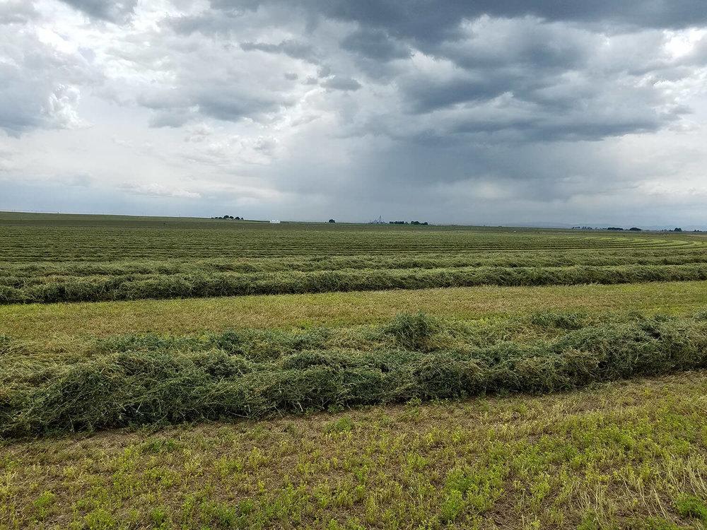 1st Cutting Alfalfa - Quality is good.