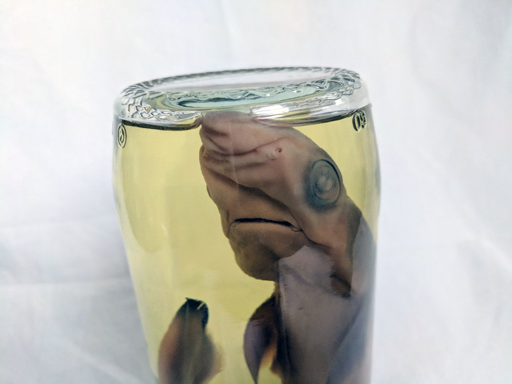 Wet specimen shark - AS SEEN ON TV!!! This particular little chap has appeared on the BBC program