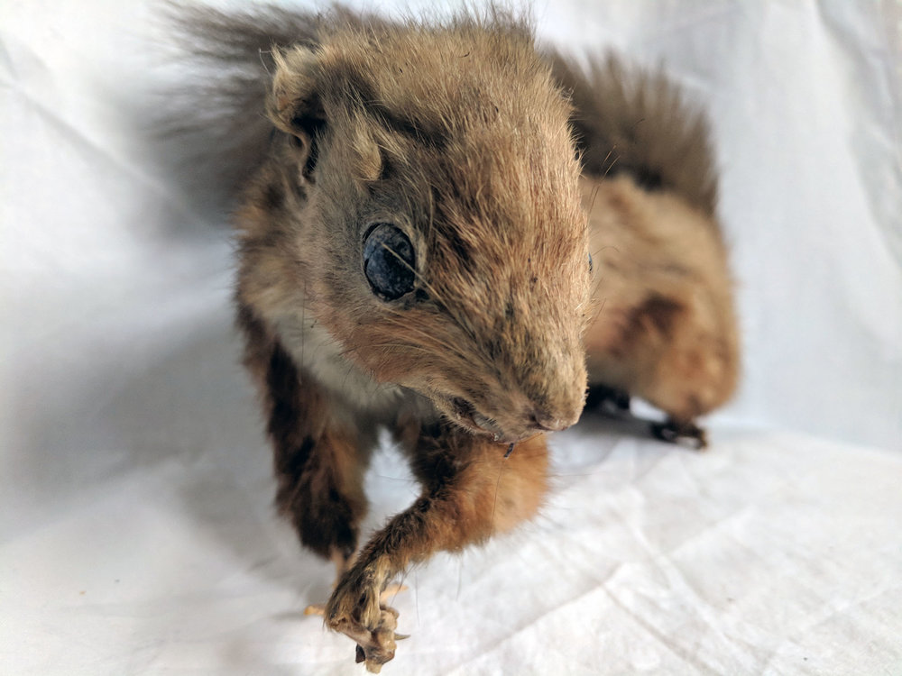 Unmounted red squirrel -