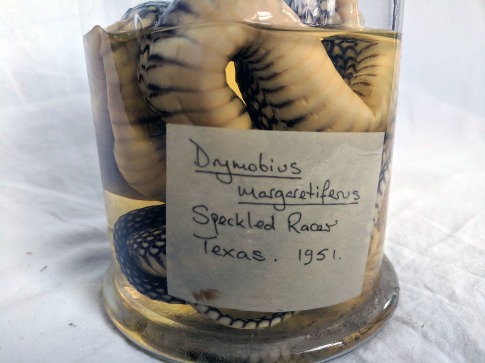 Wet specimen snake - This particular specimen was obtained from Spitalfields Taxidermy in Brick Lane. Check them out if you're in London.It's a Speckled Racer snake, dated 1951, which (if I recall correctly) was originally part of the London Natural History collection.