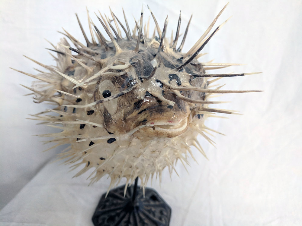 Puffer fish - Another purchase made on my London trip. This one came from Made from the dead taxidermy in Brick Lane.