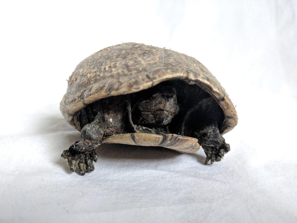 Mummified tortoise (2).jpg