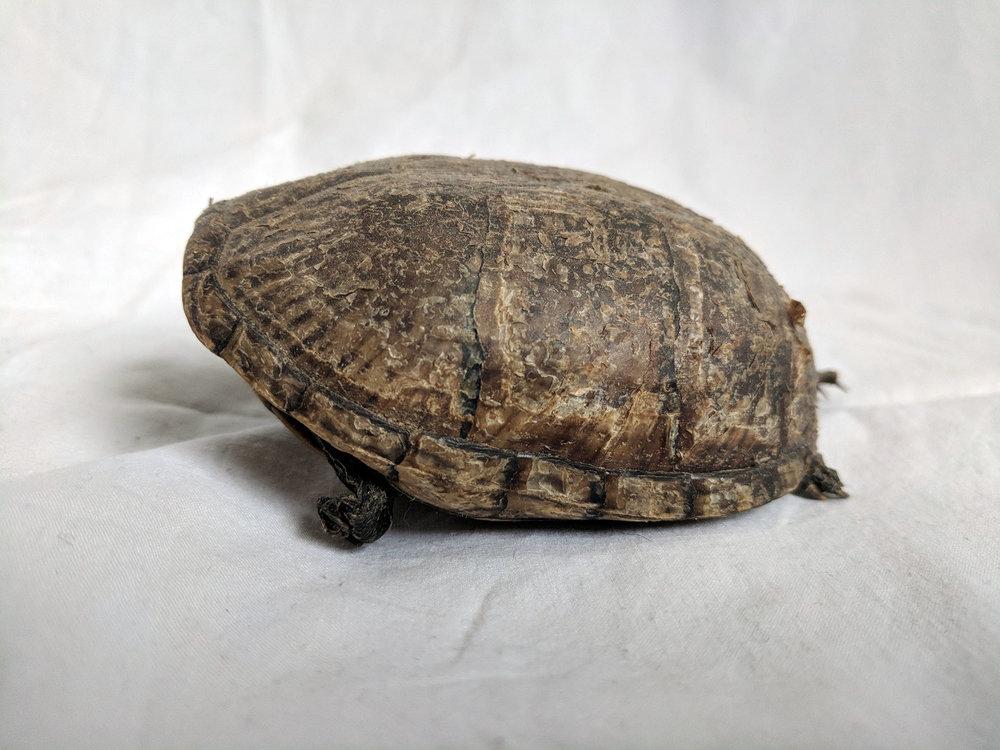 Mummified tortoise (1).jpg