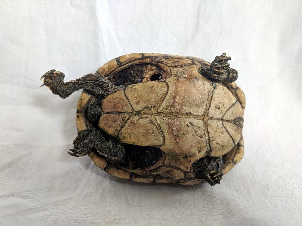 Mummified tortoise (3).jpg