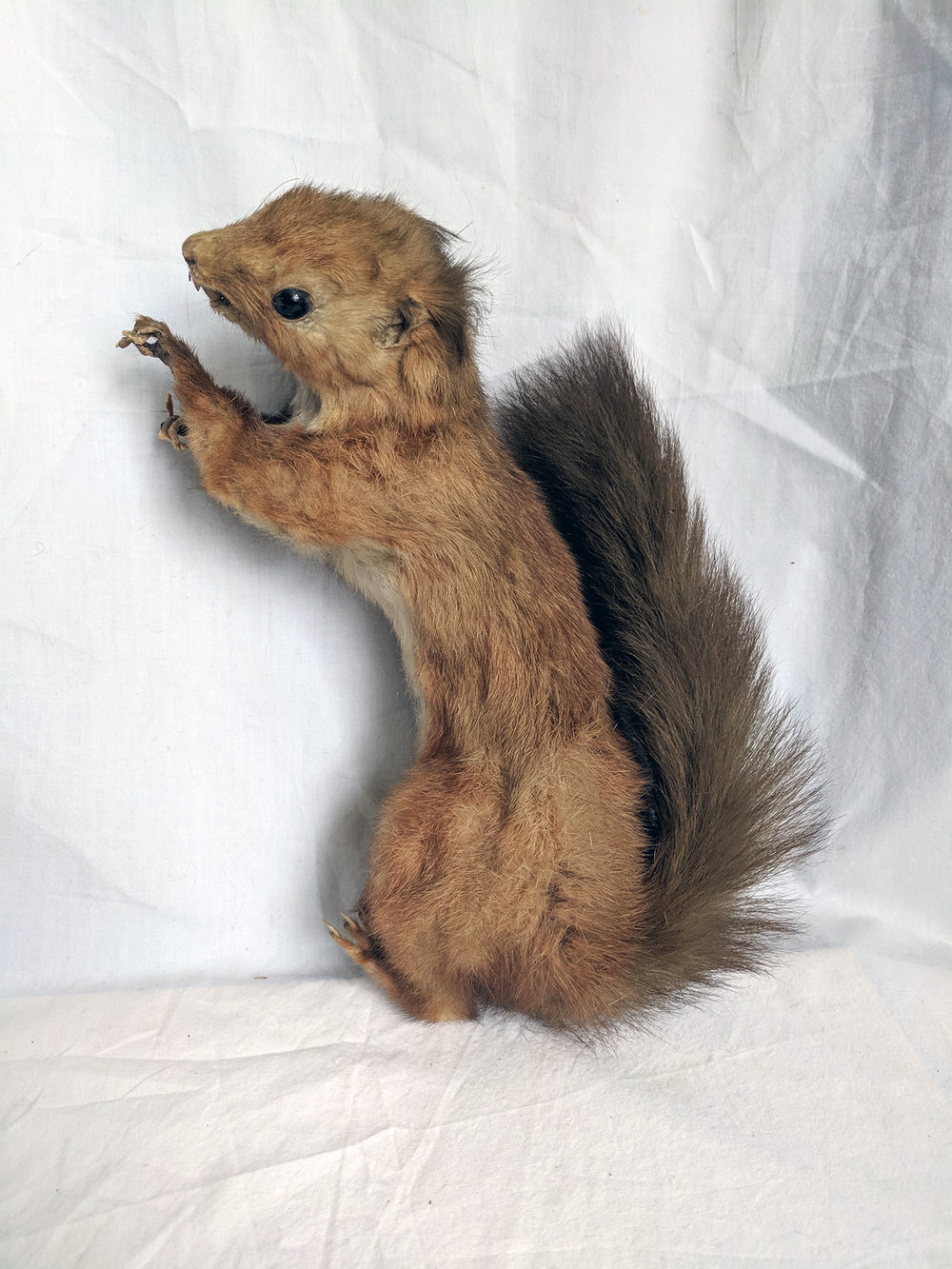 Red squirrel (1).jpg
